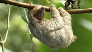 sloth sleeping